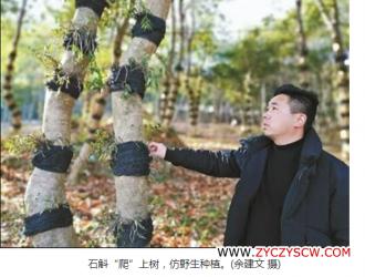 """石斛""""爬""""上树,林药间作催发林下经济"""