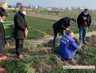 四川三台县,科学处置麦冬苗 增收又环保